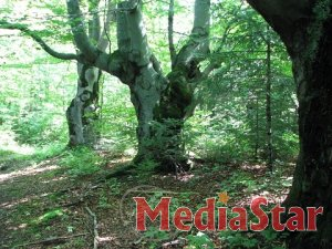 Лісівники Львівщини запропонували включити до складу об'єктів природно-заповідного фонду старовікові насадження